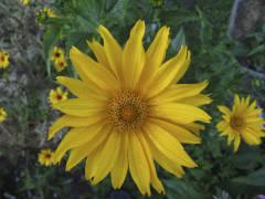 Гелиопсис - цветок