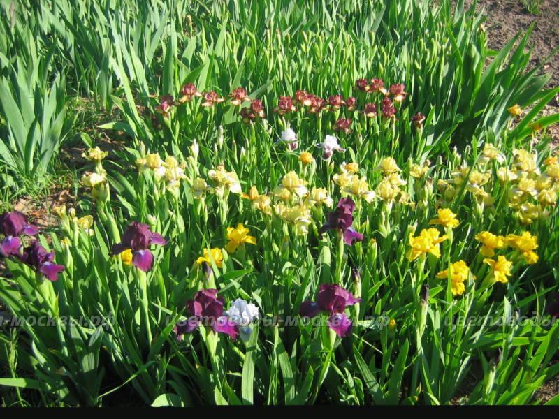 Ирисы выращивание в сибири 96