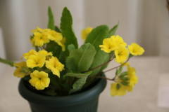 P. polyanthus Harvest Yellow
