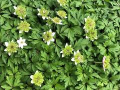 "Anemone nemorosa ""Green Fingers"