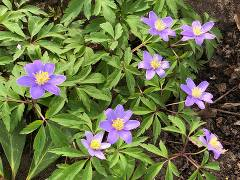 "Anemone nemorosa ""Royal Blue"""